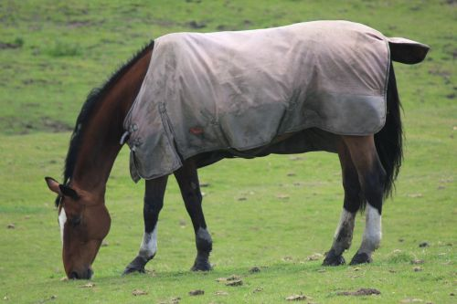 The Local Horse All Dressed in His Coat